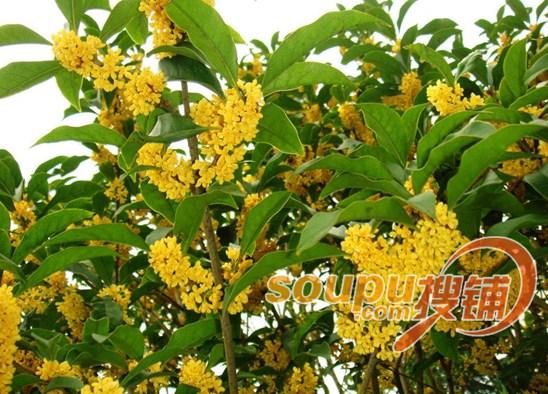 合肥植物园秋季赏花攻略——桂花